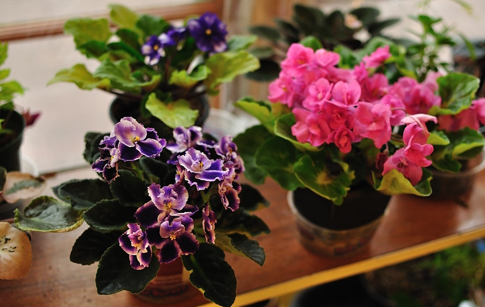 These Hard-to-Kill Plants Let You Go Green Without a Green Thumb - African Violets