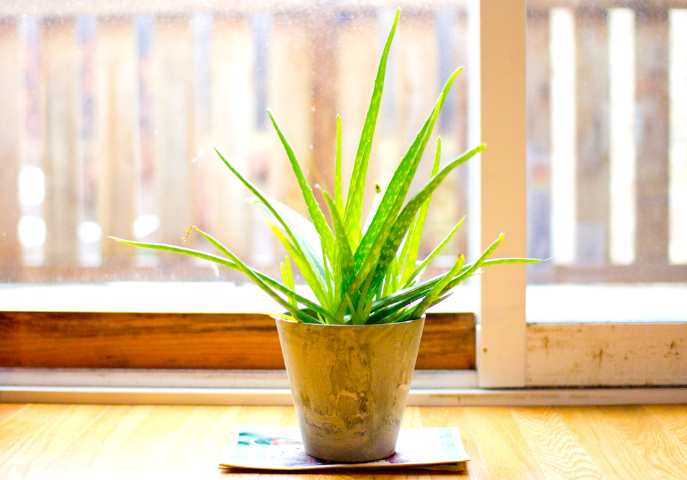 These Hard-to-Kill Plants Let You Go Green Without a Green Thumb - Aloe