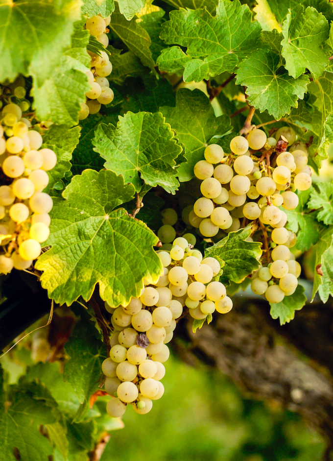 Best Wines for Fall - Viognier