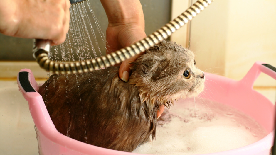 Can You Bathe Cats With Dog Shampoo