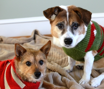 Holiday Card Ideas - Dogs in Sweaters