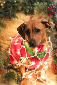 Holiday Card Ideas - Dog Wrapped in Lights
