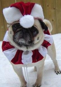 Holiday Card Ideas - Pug in Santa Hat
