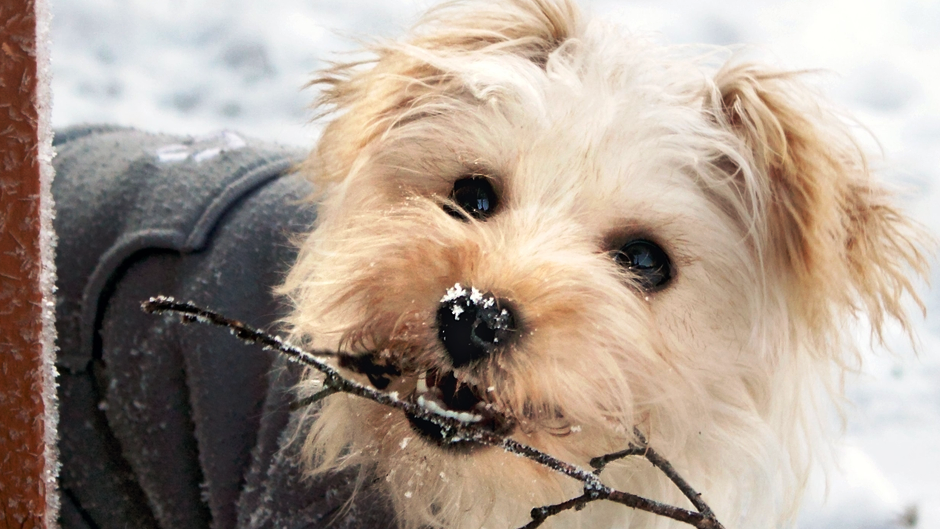 Dog in the Snow with Stick