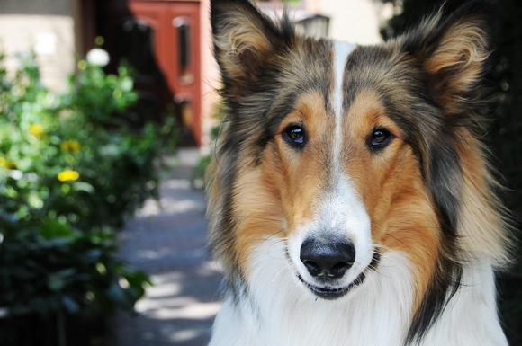 Best Dog Breeds for Kids - Collie