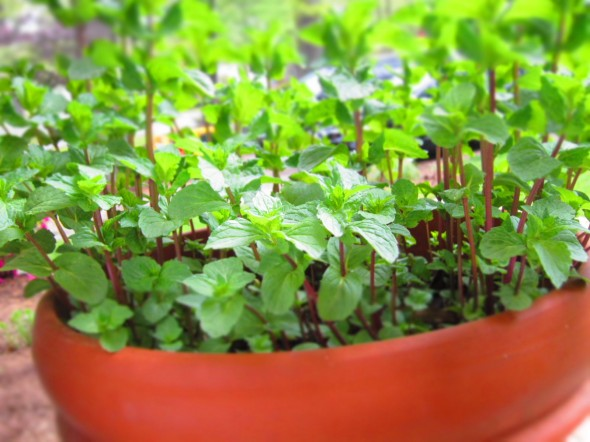 8 Edible Plants - Mint
