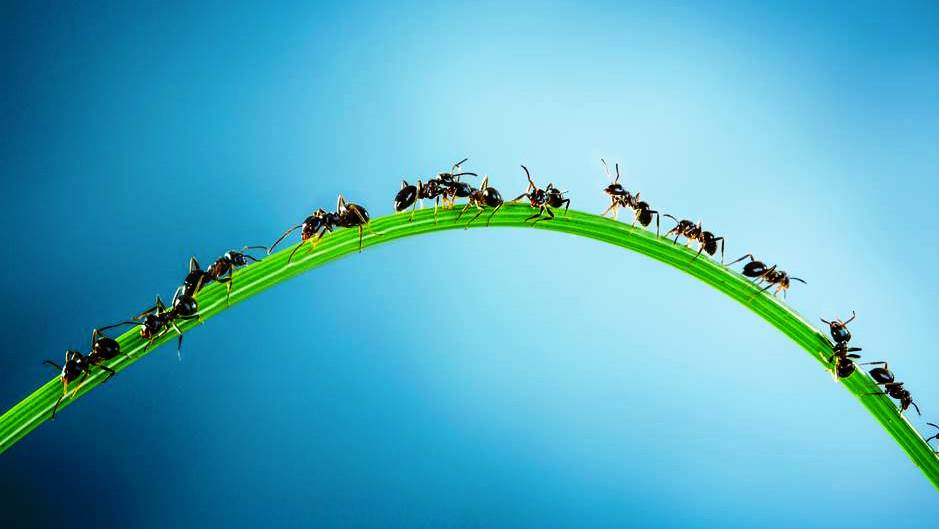 Crazy Ants: More Than a Nuisance