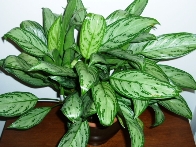 Get Clean Air With These Houseplants - Chinese Evergreen