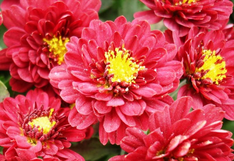 Get Clean Air With These Houseplants - Chrysanthemum