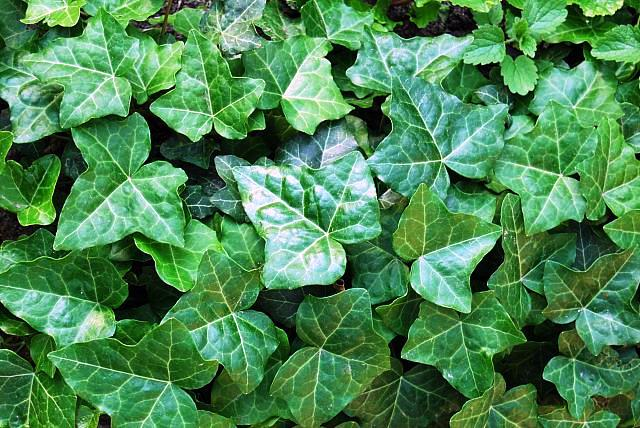Get Clean Air With These Houseplants - English Ivy