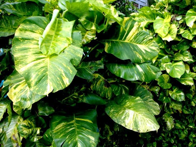 Get Clean Air With These Houseplants - Golden Pothos