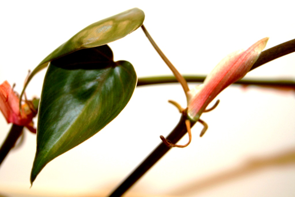 Get Clean Air With These Houseplants - Heart-Leafed Philodendron