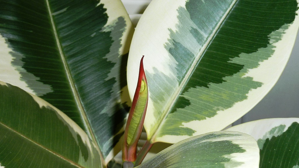 Get Clean Air With These Houseplants - Rubber Plant