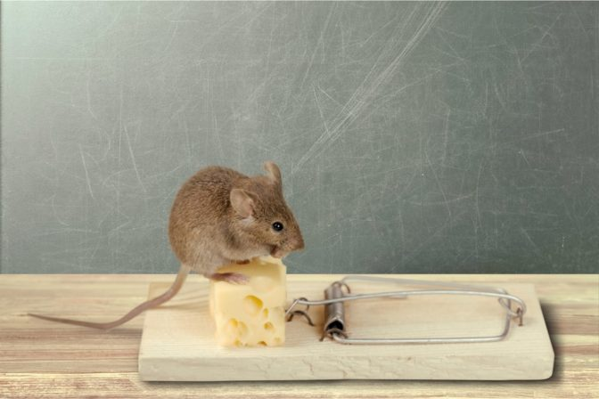mouse sitting on a mouse trap