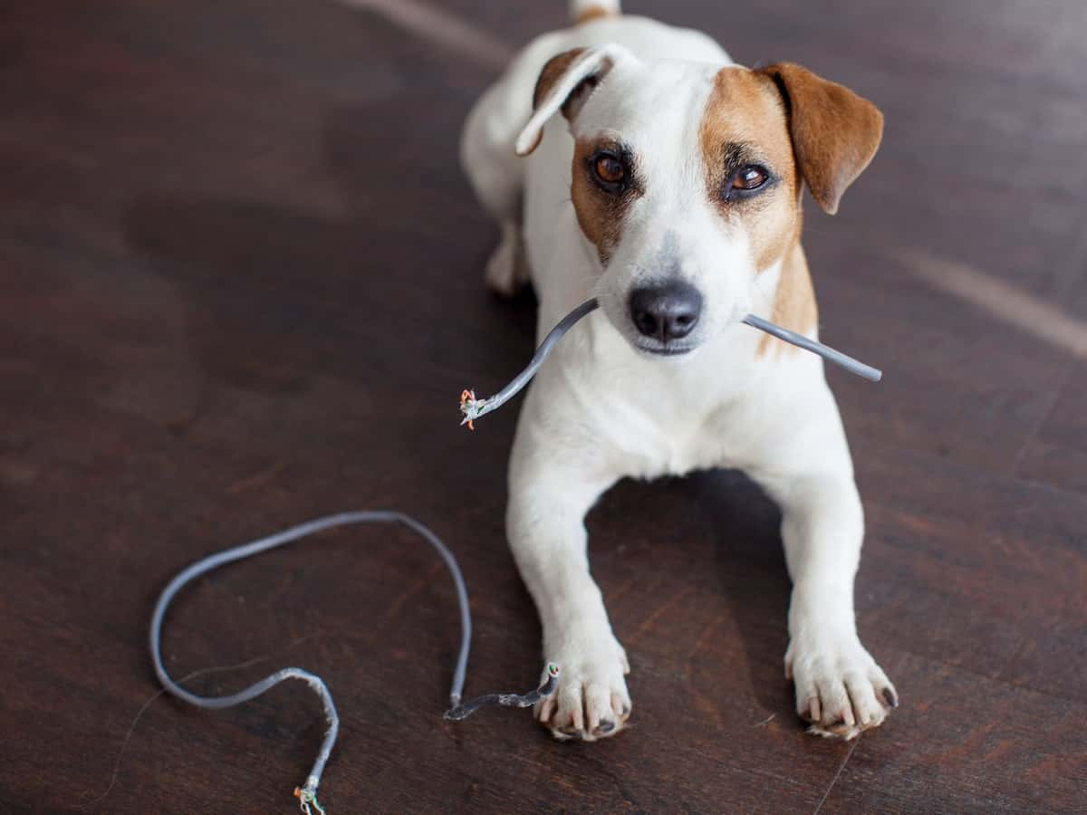 pet chewing wire