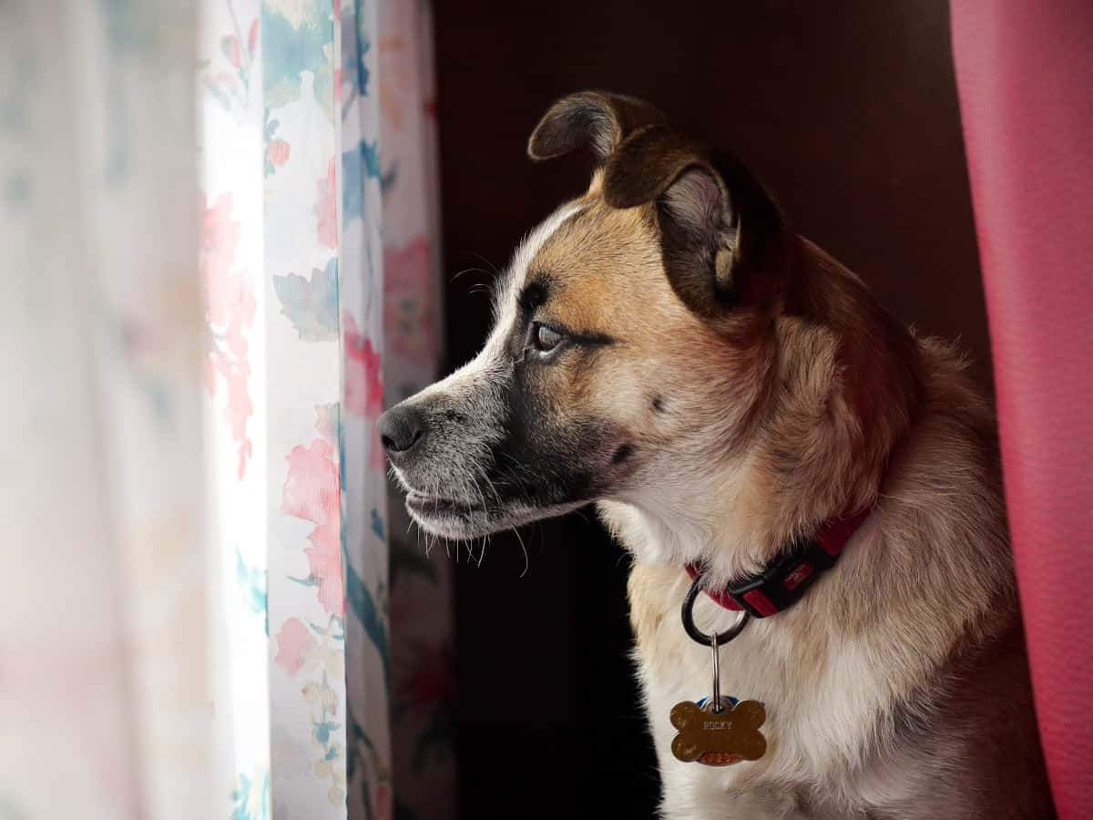 Dog waiting by the window
