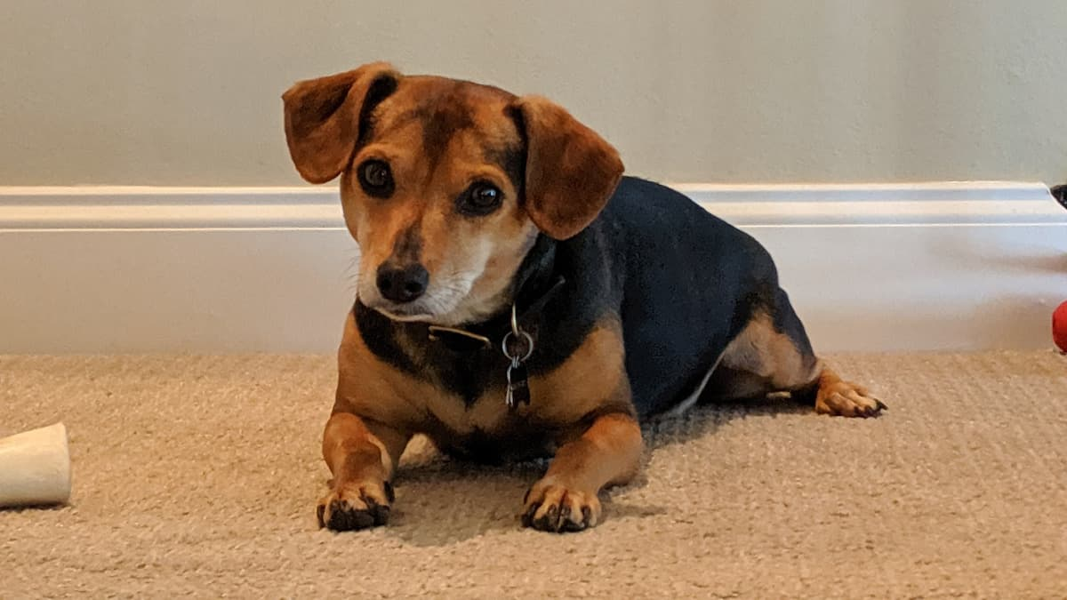 Beagle with bone