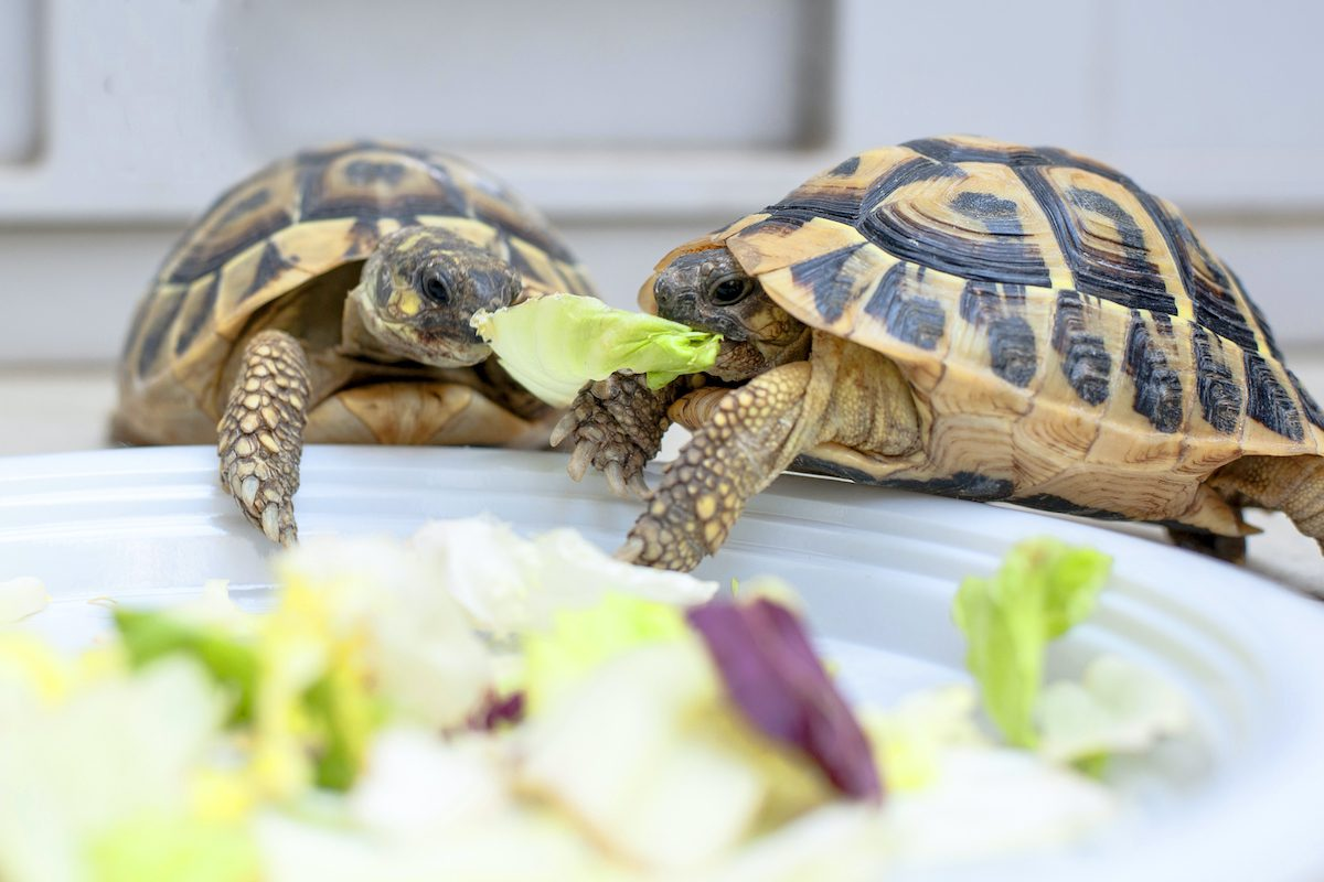 turtles eating