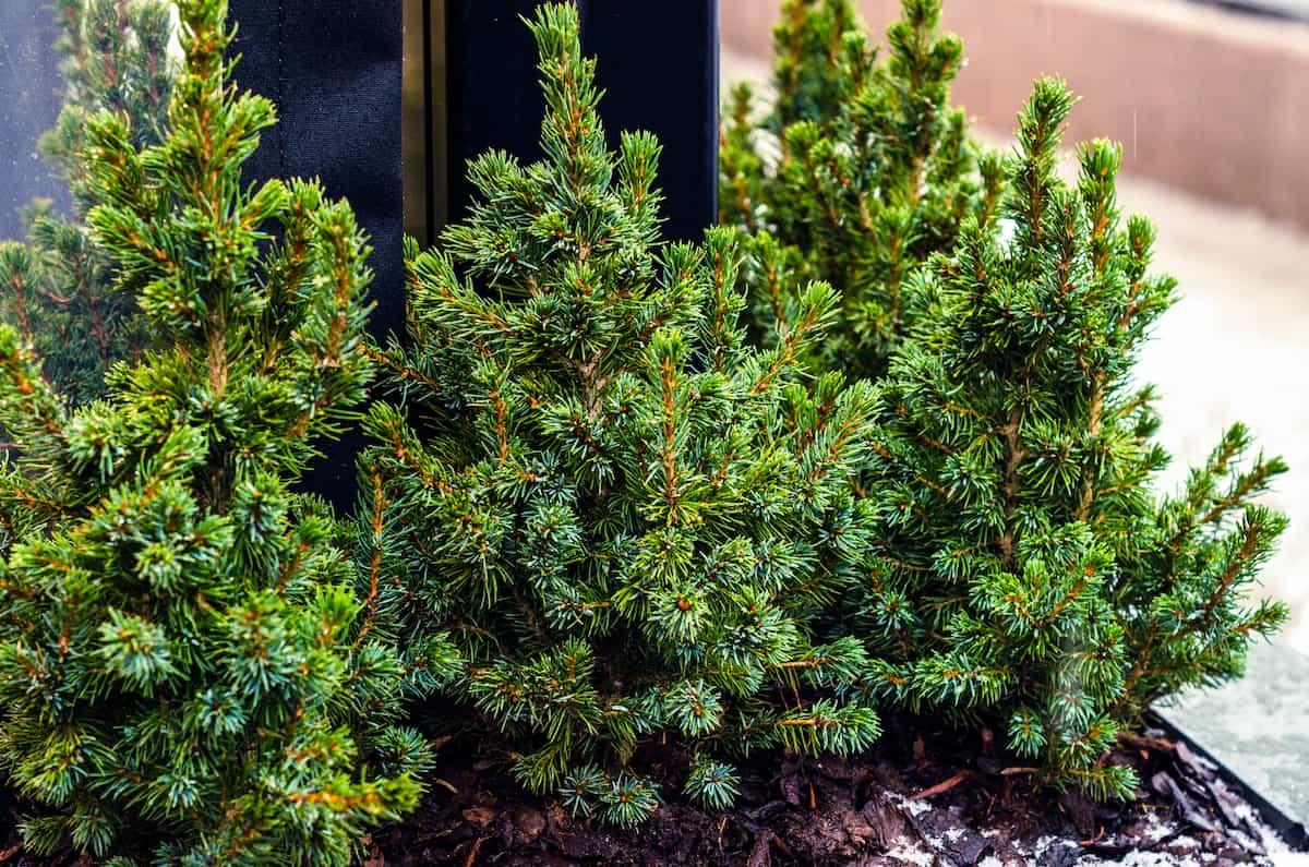tabletop spruce