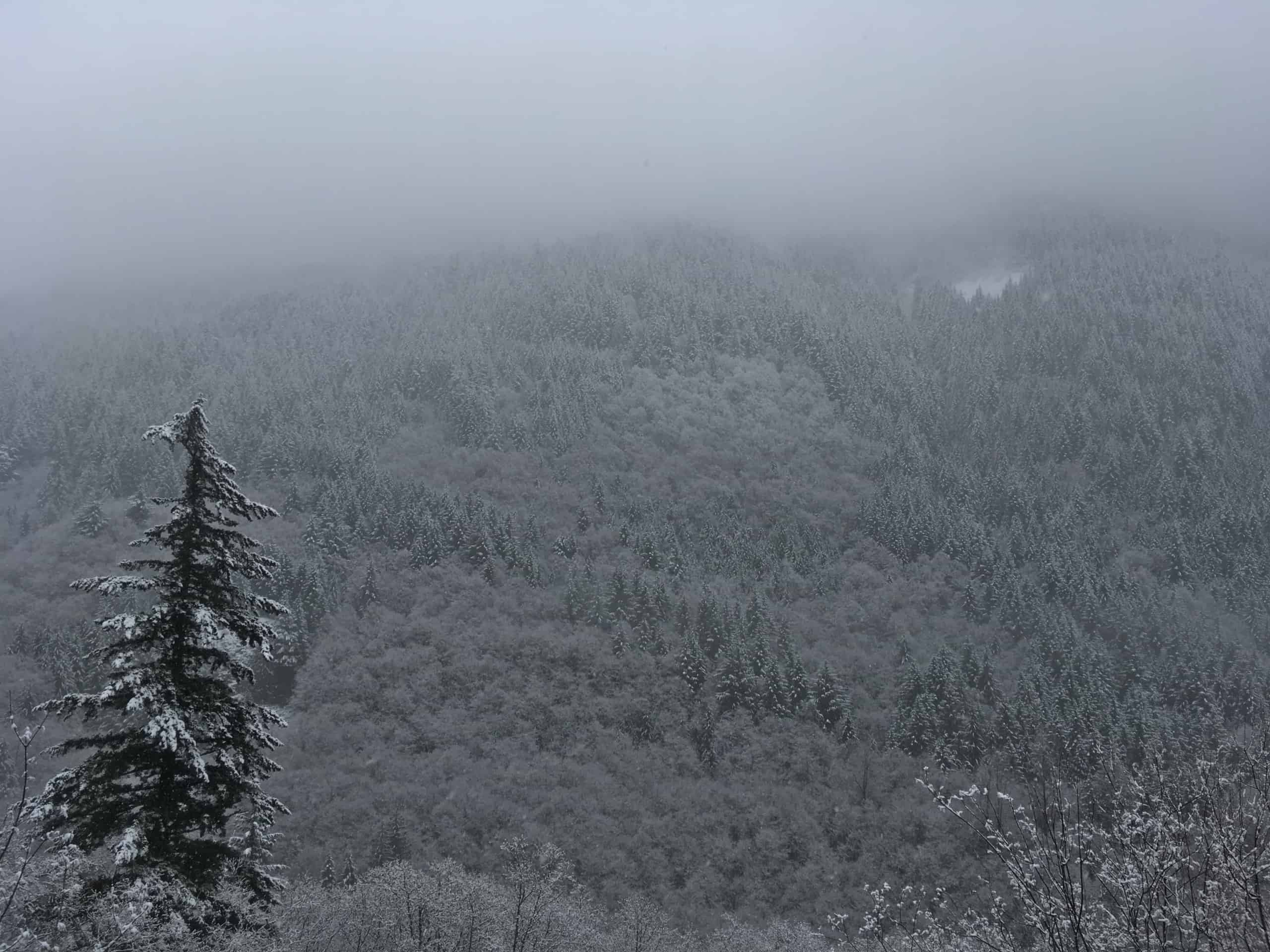 Trees coated in snow and fog on a hillside