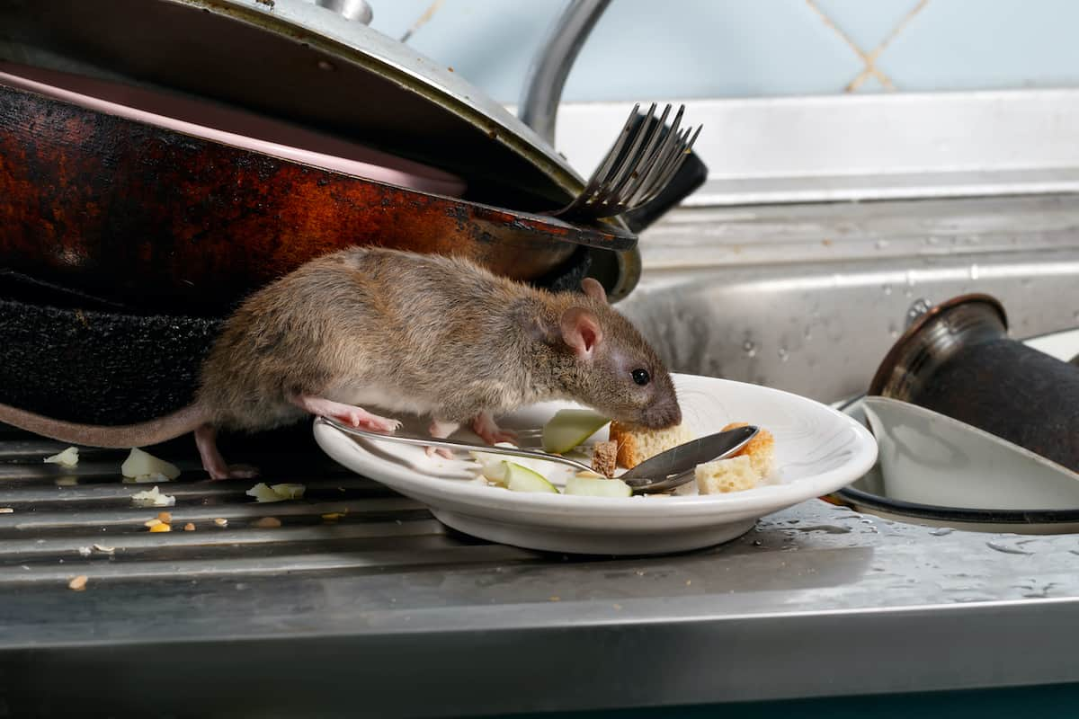 Rat eating food on a plate in a dirty kitchen.