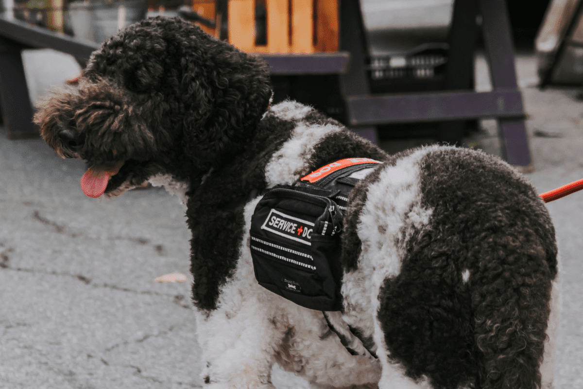 Service dog.